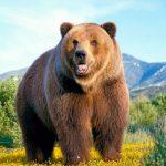 Самые большие медведи в мире