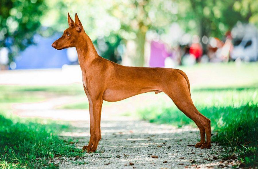 Фараонова собака