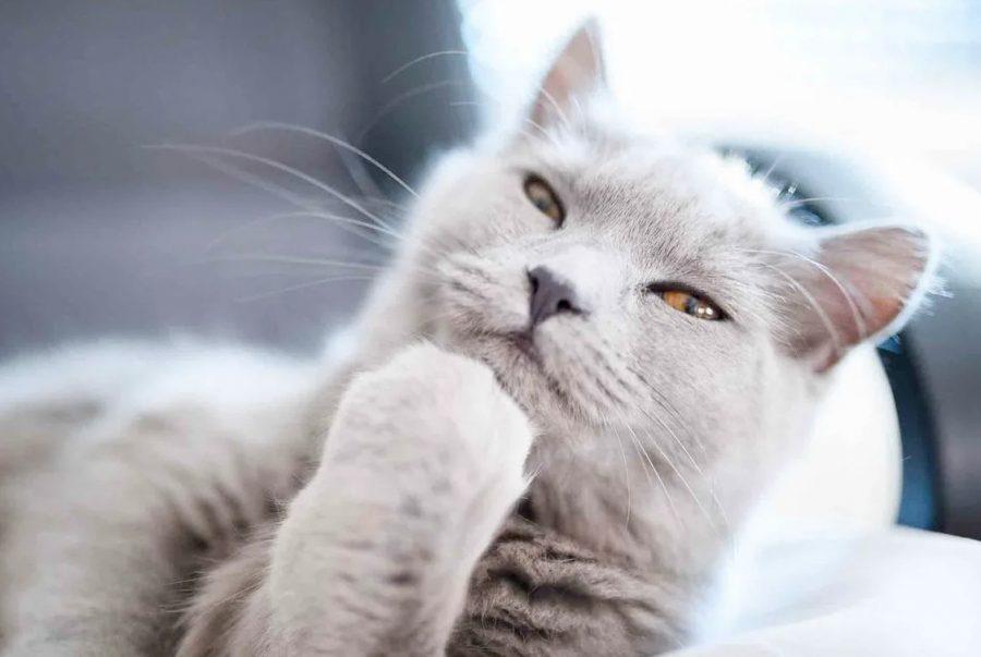 Думающий кот