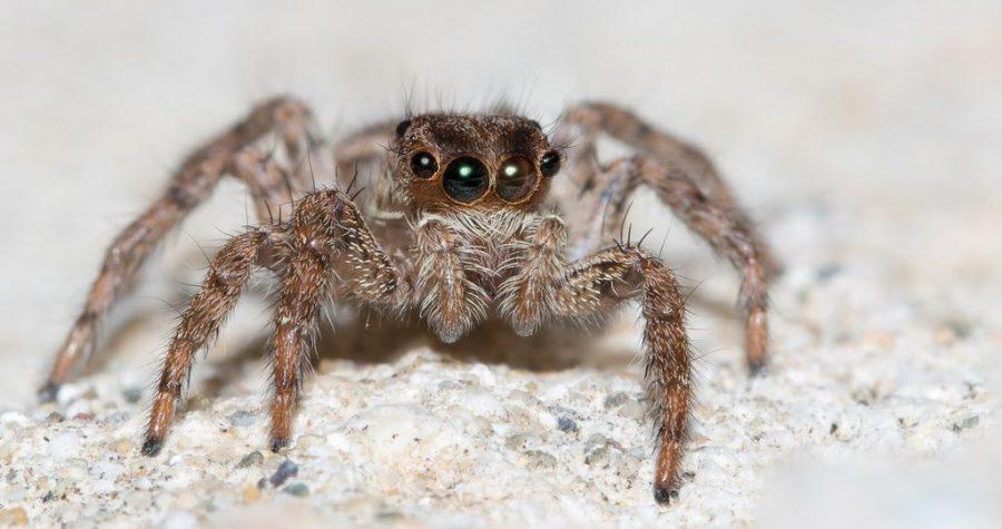 Гималайский паук
