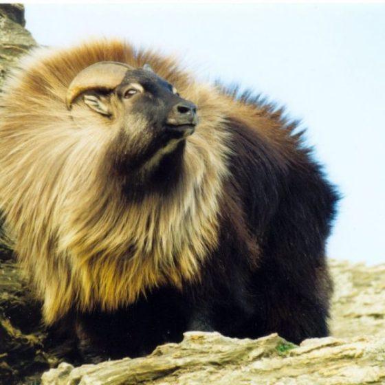 Крупнорогатое животное – гималайский тар.